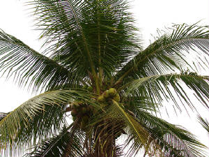 coconuttree1a.jpg